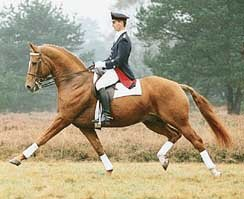 Weltmeyer Dressage Stallion