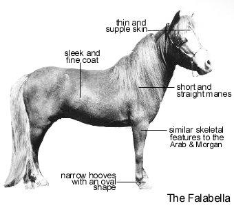 Horse Breeds - The Falabella Horse