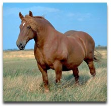 Horse Breeds - Suffolk Punch