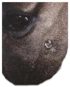 Flat horse sarcoids / Equine sarcoids