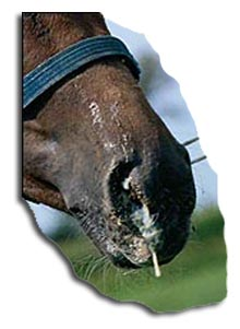 Horse Strangles Nasal Discharge