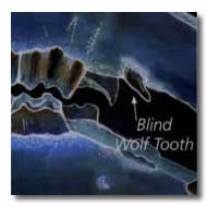 Horse Teeth - Blind Wolf Tooth