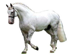 The Irish Draught Horse Breed