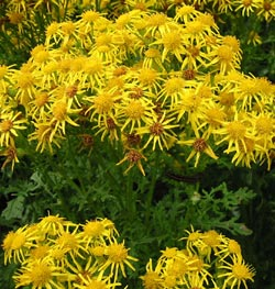 Ragwort - Plants Toxic to Horses