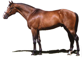The Selle Francais Horse Breed