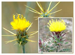 Yellow Star Thistle - Toxic to Horses