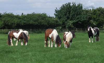 Happy Grazing Horses at Bransby