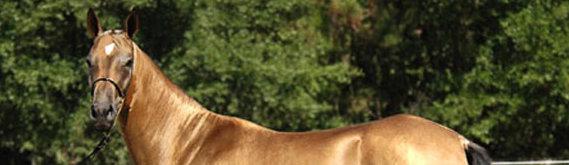 Akhal Teke Horse Breed - hdr