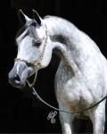 Arab-Horse-Cherish-Cheryl