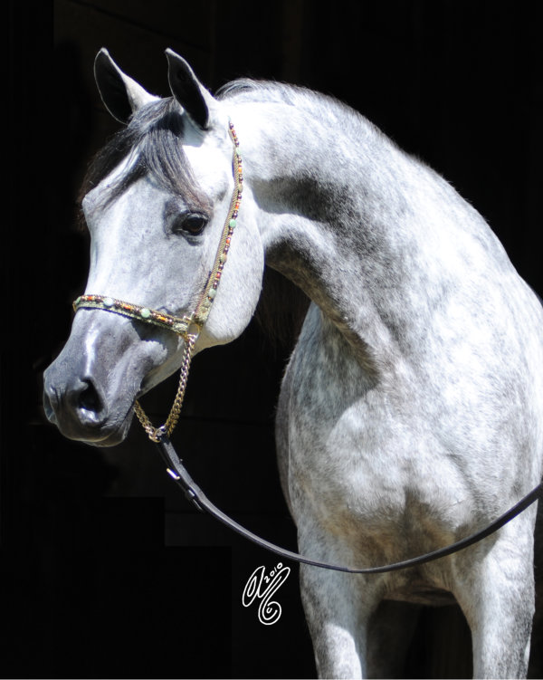 Arabian Horse Cherish-Cheryl