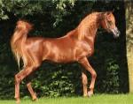 Arab-Horse-Conformation