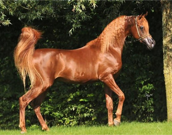 Arab-Horse-Conformation