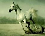 Arab-Horse-Galloping