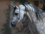 Distinctive Arabian Horse Head