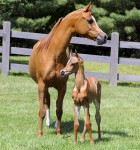 Arab-Horse-With-Foal