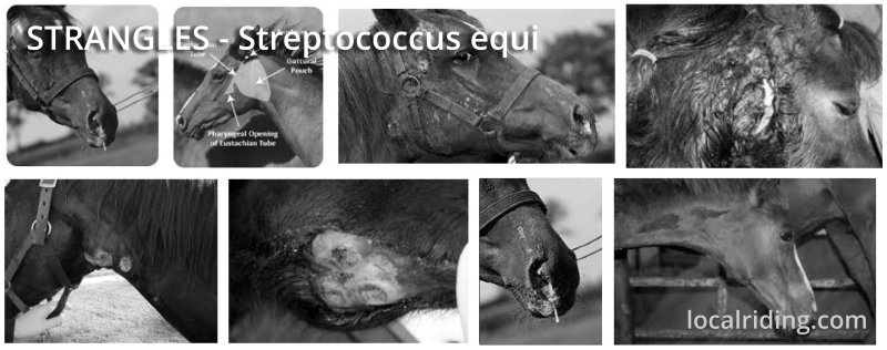 Equine Strangles - Facts on Streptococcus Equi