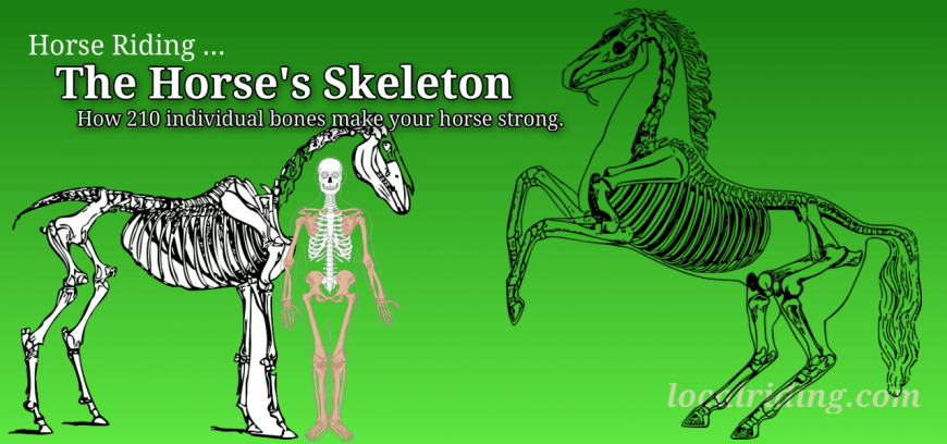 The horse skeleton its important to horse owners