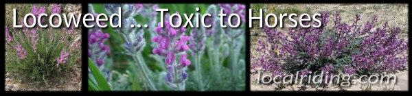 Locoweed - Toxic to Horses