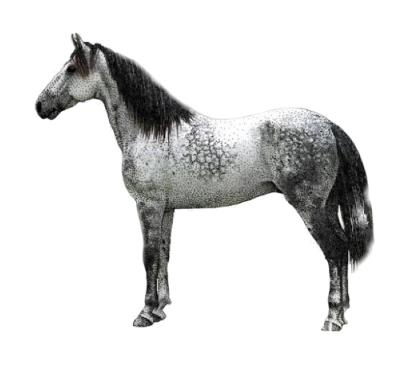 North Dakota Nokota Horse Breed
