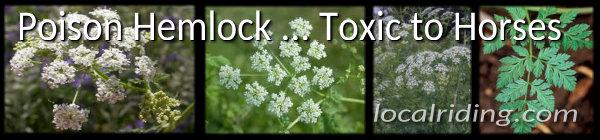 Poison Hemlock - Toxic to Horses