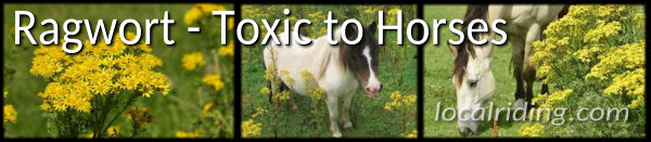 Ragwort and Horse - A Poisonous Plant Toxic to Horses