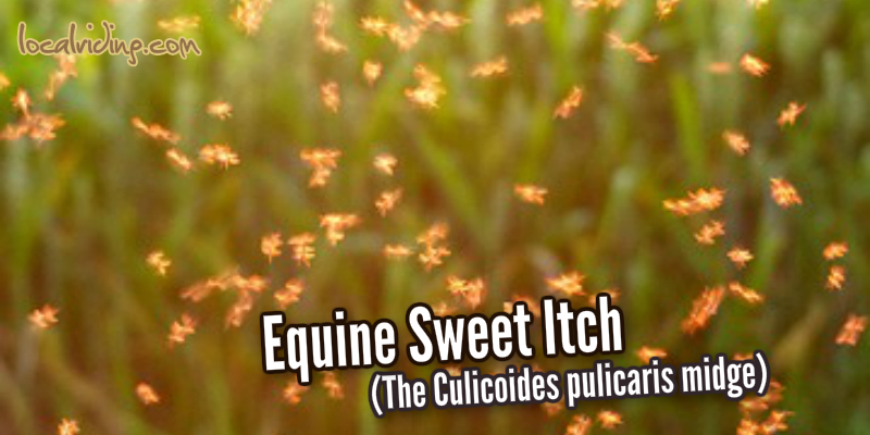 Equine sweet itch - Culicoides pulicaris midge